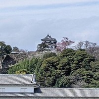 彦根も今日桜の開花宣言!:画像